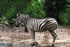 UNA ZEBRA (Ezio Donati is ) Tags: animali animals zebre natura nature foresta forest africa costadavorio areagrandlaohaou