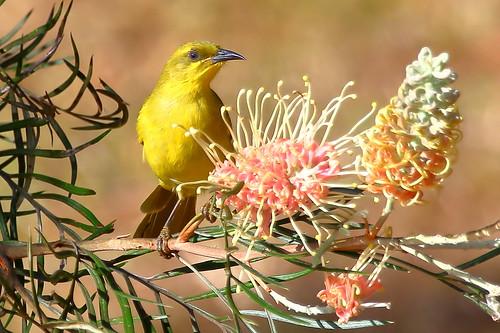 Yellow Honeyeater (Stomiopera flava)