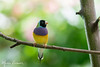 Gouldian Finch (Male) (photosbymk) Tags: butterflyplace gouldian finch male