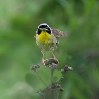 The Yellowthroat and the Katydid