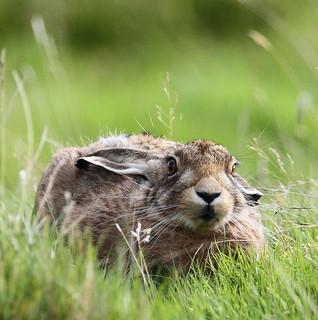 brown hare ysgyfarnog
