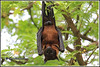 7059 - flying fox (fruit bat) (chandrasekaran a 49 lakhs views Thanks to all.) Tags: flyingfox fruitbat mammals nature india chennai canon60d tamronsp150600mmg2