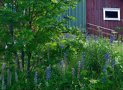 Barn and Flowers (Linnea from Sweden) Tags: barn flowers countryside rural village nature grass green plant tree summer olympus e450 mzuiko digital 1442 3556 50v5f