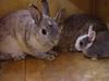 6 (Protty coniglio nano) Tags: coniglio conigli protty bunny bunnies rabbit rabbits kaninchen lapin coniglietti coniglionano prottyit coniglinani oryctolagus oryctolaguscuniculus