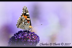 Painted Lady (ctofcsco) Tags: 11600 1758 1d 1dmark4 1dmarkiv 1div 20x 2x 600mm anessacarduilinnaeus canon colorado coloradosprings didnotfire digital ef2x ef2xii ef300mmf28lisusm20x eos eos1d eos1dmarkiv esplora explore bokeh explored geo:lat=3893083779 geo:lon=10489145279 geotagged gleneyrie nature northamerica telephoto wildlife extender f63 flashoff iso400 mark4 markiv paintedlady photo pic pretty renown shutterspeedpriorityae spot supertelephoto teleconverter unitedstates usa macro insect closeup coth5