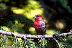 Male House Finch (Anne Ahearne) Tags: red bird birds nature wildlife animal finch housefinch