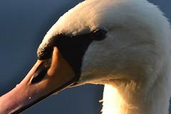 Swan (Koutai) Tags: bird wild animal nature life detail detailphotography dslr digital nikon d3100 nikonglobal nikond3100 animalphotography wildlife focus water berlin treptower park river closeup nofilter original