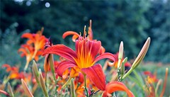 August Lilies (farmspeedracer) Tags: nature garden park lilie lilly lily red blossom germany summer rouge rot blume flower fleur august