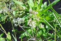 Mikania scandens --  a hemp weed 0005 (Tangled Bank) Tags: cypress creek preserve palm beach county florida wild nature natural plant flora botanymikania scandens hemp weed 0005