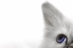 hi-key (Uniquva) Tags: macromondays highkey kitten eye