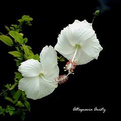 Hibisco/Hibiscus (Altagracia Aristy Sánchez) Tags: hibisco hibiscus cayena laromana quisqueya repúblicadominicana dominicanrepúblic caribe caribbean caraïbe antillas antilles trópico tropic américa fujifilmfinepixhs10 fujifinepixhs10 fujihs10 altagraciaaristy fondonegro blackbackground sfondonero
