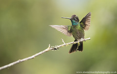 Magnificent Hummingbird (Alastair Marsh Photography) Tags: magnificenthummingbird hummingbird hummingbirds bird birds aggression angry wing wings animal animals animalsintheirlandscape wildlife pacific clouds cloudforest rainforest rain rainfall forest jungle tropical costarica centralamerica latinamerica