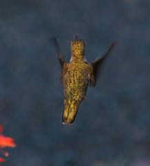 Female Black-chinned Hummingbird (ironekilz) Tags: chatfieldstatepark