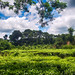 tea garden at chittagong