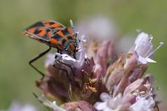 Gendarme sur 0rigan (jlmgrenoble) Tags: vercors gendarme origan nature insecte rouge noir macro fleur france