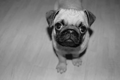 Oui, c'est bien moi !!! (François Tomasi) Tags: pug carlin dog animal pointdevue pointofview pov noiretblanc blackandwhite lights light lumière reflex nikon yahoo google flickr françoistomasi tours indreetloire touraine france europe digital numérique filtre composition photo photography photographie photoshop regard septembre 2017 pet