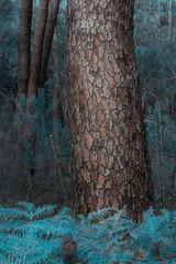 Le tronc (david49100) Tags: 2017 août maineetloire seichessurleloir arbres d5100 nikon nikond5100 trees troncs trunks