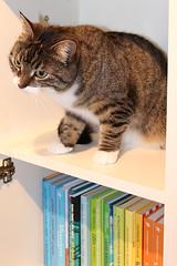 Anything good to read..? (andymiccone) Tags: cat miisa katze katt kissa tabby feline chat gato grey gray animal beautiful cute pet domestic book case