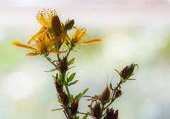 seasonal evolution (marinachi) Tags: macro flower seeds bud yellow closeup macromondays evolution