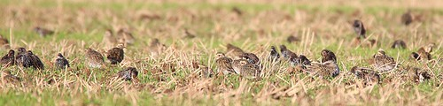 golden plovers and starlings