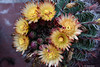 Ferocactus (Paolo Bonassin) Tags: flowers flower ferocactus