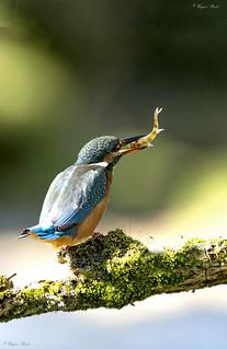 Kingfisher (fem).