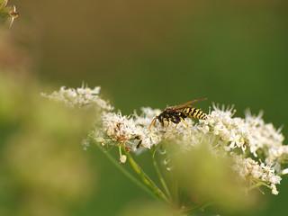 Wespe - Wasp