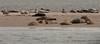 seaside rendez-vous (vidum) Tags: nederland robbe seebär seehund texel loupdemer phoque rob seal zeehond zeerob