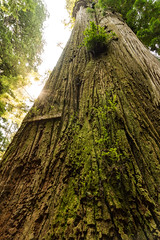 Boy Scout Tree (Aaron Fredericy) Tags: redwoodsnationalpark redwoods redwood redwoodnationalforest california hiking green summer forestfire smoke pacificnorthwest pnw camping explore