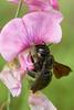 Xylocopa violacea 20170816 d , NGIDn1892120420 (naturgucker.de) Tags: ngidn1892120420 naturguckerde xylocopaviolacea johannisberg unterebrunnengasse carnolaber