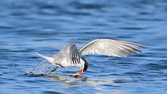 Snatch! (bmse) Tags: elegant tern bolsa chica fish fishing bmse salah baazizi wingsinmotion canon 7d2 400mm f56 l
