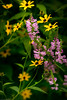 Foliage II : Foxglove and Black-Eyed Susans (theReedHead) Tags: thereedhead sonya7rii sonya7rmarkii zeiss135mmf2 zeissprimelens zeisssonnarlens zeisszelens realism foxglove blackeyedsusan digitalis rudbeckiahirta yellowflowers pinkflowers estabrookpark milwaukee wisconsin milwaukeephotographers wisconsinphotographers flowers foliage flora blooming blossoming flowering closeups blooms