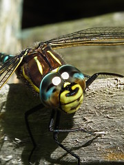 What big eyes! (Screwdriver32,more off than on :-() Tags: screwdriver32 screwy32 scotland southayrshire ayrshire ayr animal insect dragonfly fuji finepix fujifilm hs10 hs11 wildlife myfuji johnscrewdriver