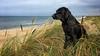 beach watching (uwe.kast) Tags: labrador labradorretriever labradorredriver hund haustier vesterhusby nordsee northsee sea dog denmark danmark dänemark apple beach strand dünen dunes iphone