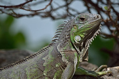 Hurry Up And Take The Shot (ACEZandEIGHTZ) Tags: reptile nikon d3200 iguana green coth alittlebeauty coth5 sunrays5