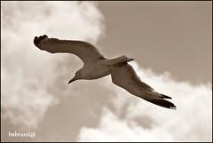 ad ali spiegate (imma.brunetti) Tags: animali uccello gabbiano becco piume ali zampe coda volare nuvole