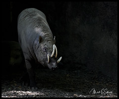 Coming Out of the Shadows (Nikon66) Tags: warthog stlouiszoo zoo logo watermark newcamera nikon d850 missouri
