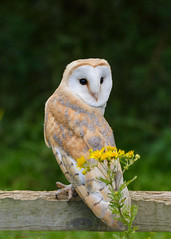 Barn owl posing 19.08.17 (Lee Myers - aka mido2k2) Tags: barn owl wild wildlife bbc springwatch bbcspringwatch countryfile nature natural explore trending beautiful sunset sun yellow amazing prey avian photography countryside rural predator rapror bird flight silent hunter nikon nikkor d7100 200500mm f56 vr iamnikon capture moment stunningbacklit light lighting uk yorkshire coast coastal free barnowl