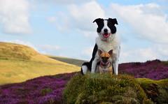 purple hills (lisheeny) Tags: heather dog dogs pet animals nature peak district derbyshire chihuahua border collie littledoglaughedstories