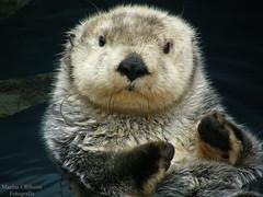 Lontra-marinha / Sea otter (Enhydra lutris) (Marina CRibeiro) Tags: portugal lisboa lisbon oceanário lontra otter mamífero mammal animal