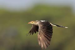 Guira Cuckoo (Greg Lavaty Photography) Tags: guiracuckoo guiraguira brazil august motograsso pantanal photographytrip outdoors bird nature wildlife