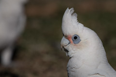 Little Corella (RoosterMan64) Tags: australia australiannativebird bird corella littlecorella nsw nature wildlife