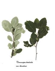 E20170909-0001—Cercocarpus betuloides var blancheae —RPBG (John Rusk) Tags: ebparksok taxonomy:kingdom=plantae plantae taxonomy:subkingdom=tracheophyta tracheophyta taxonomy:phylum=magnoliophyta magnoliophyta taxonomy:class=magnoliopsida magnoliopsida taxonomy:order=rosales rosales taxonomy:family=rosaceae rosaceae taxonomy:genus=cercocarpus cercocarpus taxonomy:species=betuloides taxonomy:binomial=cercocarpusbetuloides taxonomy:trinomial=cercocarpusbetuloidesblancheae cercocarpusbetuloidesblancheae islandmountainmahogany taxonomy:common=islandmountainmahogany
