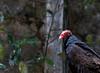20170820-0I7A0488-Cathartes (siddharthx) Tags: singapore sg cathartes birdsofprey canon7dmkii nature ef100400mmf4556lisiiusm jurongbirdpark aviary bigbirds largebirds