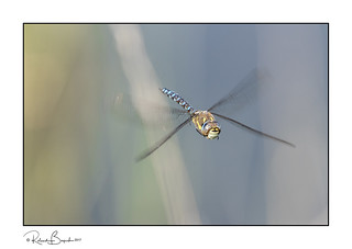 Dragonfly hovering in the reeds