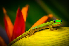 """Colors of Paradise"" Gold Dust Day Gecko (Cathy Lorraine) Tags: island golddustdaygecko gecko lizard reptile macro nature outdoors flower colors red orange green yellow paradise hawaii madagascar cute beautiful tropical summer"