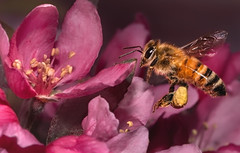 Bee In Flight (Inge Vautrin Photography) Tags: bee insect insects animals flight flying flowers pink macro macrophotography oklahoma usa wildlife outdoors outdoor outside pollen upclose wings nature animalplanet