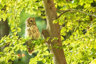 Ural owl ~ explored