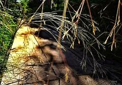 Grass on the Path (photo fiddler) Tags: trail highhead novascotia grass september 2017