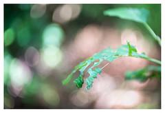 Food (leo.roos) Tags: swirly leaf leaves blad bladeren green groen a7rii meopta meostigmat3513 projectorlens projectionlens darosa leoroos